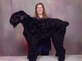 Lily as a Black Russian Terrier