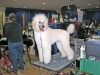 Roddy at Poodle Club of America