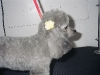 Miniature Poodle with a Bow