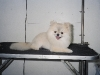 Pomeranian with a Lion Cut