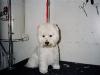 Chamption Westie Terrier, Head Shot