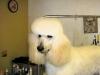 Roddy, Standard Poodle
