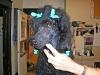 Larry, Standard Poodle
